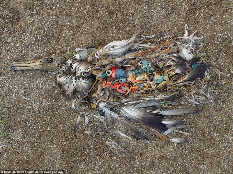 albatros morto rifiuti