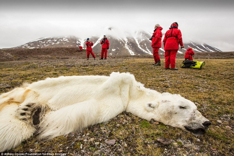 orso polare soscimento calotte