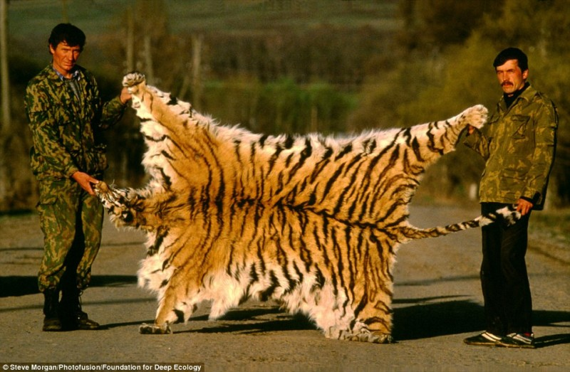 tigre sibberiana pelle bracconieri